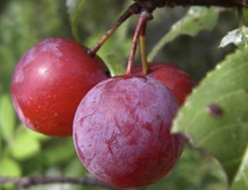 News-Notes – Plum crop is done; grapes looking good